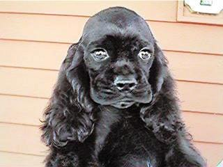 "A ""Black-coloured"" American Cocker Spaniel"