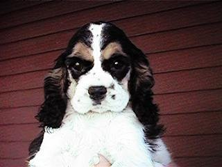 "A ""Black, White & Tan (Tri-Parti)-coloured"" American Cocker Spaniel"