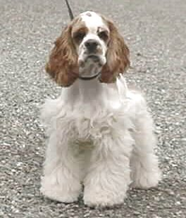 "A ""Red & White Parti-coloured"" American Cocker Spaniel"