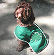 """Chardie"", a Chocolate-coloured