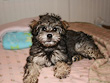 Colby, a Gold & Silver-coloured