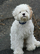Buff & White Parti-coloured