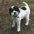 Jake, a Black & White Parti