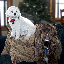 """Bella"" (Buff Cockapoo) & ""Clive"" (Chocolate Am. Cocker Spaniel)