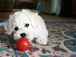 An 8-week-old Female Schnoodle... being a puppy!