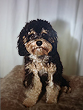 """Amigo""... a Black & Tan