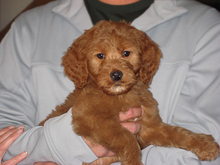 An Apricot-coloured