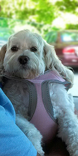Chelsea, a Buff & White Parti