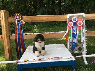 """Allie"",  Sitting with Her 2015 Master Agility Championship 2 Awards!"