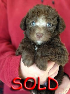 SOLD!.. A Solid Chocolate~Sable-coloured