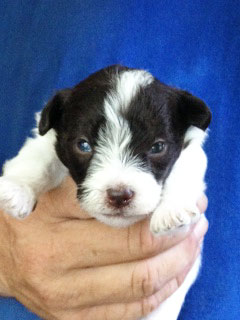 A Chocolate & White Parti-coloured