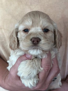 A Buff-coloured